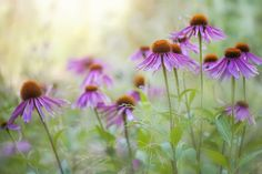 Photograph Summer Coneflowers by Jacky Parker on 500px