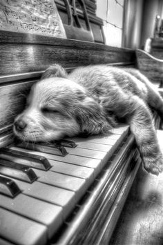 Puppy snoozing on piano :)