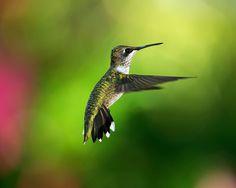 hummingbird desktop wallpaper  from freewallsource.com