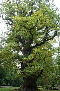 Respect!  1000 years old oak.