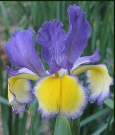 Spuria iris 'Missouri Rivers' (Niswonger, 1989)   American Iris Society