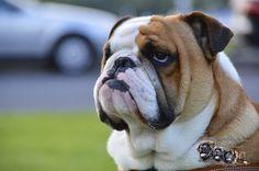 chumlee suprise New Puppy, French Bulldog, Puppies, Animals, Cubs, Animales, Animaux, French Bulldog Shedding, Bulldog Frances