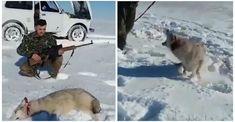 """Karma: Un lobo finge estar muerto y """"regresa a la vida"""" para atacar a su cazador"""