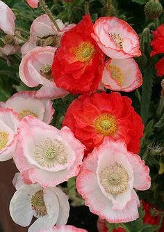 ~~Papaver rhoeas 'Falling in Love' mix   Annie's Annuals~~