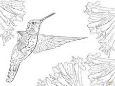 Magnificent Hummingbird coloring page | SuperColoring.com