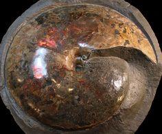 """Museum Quality 20.5"""" Placenticeras Ammonite - South Dakota"""