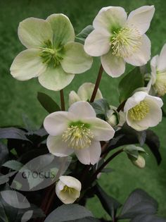 "Helleborus hybridus lenten rose syn. (Helleborus orientalis) Plant on the shade of a deciduous tree. Ht. 18"" W 12"" Blooms Feb - May"