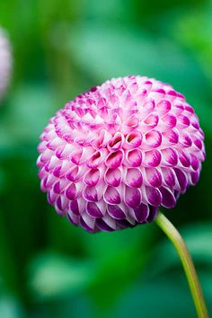 31827 | Dahlia rhonda suzanne. Purple flower www.clivenichol… | Flickr - Photo Sharing!
