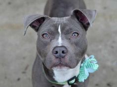 My name is CHANCE. My Animal ID # is A1032399. I am a male blue and white pit bull mix. The shelter thinks I am about 1 YEAR 6 MONTHS old.  I came in the shelter as a OWNER SUR on 04/06/2015 from NY 11692, owner surrender reason stated was NYCHA BAN.