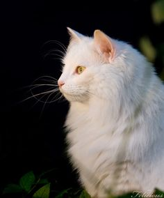 Norwegian forest cat, photography by Susanne Hvenegaard