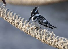 Ceryle rudis - Pied Kingfisher - Martin-pêcheur pie - 21/03/14   Flickr - Photo Sharing!