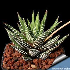 Haworthia attenuata ssp. attenuata
