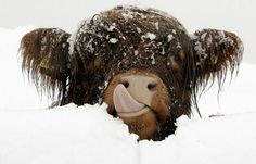 """Oh my Lord. It's a """"hillan coo!"""" (Highland Cow, from Scotland. I loved spotting them when I was there.)"""