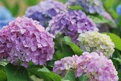 Lavender and purple hydrangeas