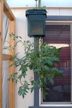Make your own hanging tomato plant/garden by drilling a hole in a plastic container, planting the tomato upside down, then hanging.  Bonus: can plant something else (eg, basil) in the top.  Idea from Marshalllee.net.
