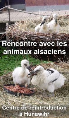 0 la rencontre des loutres et des cigognes au centre de réintroduction à hunawihr, au centre de l'Alsace