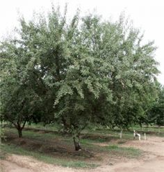 Learn more about the Nonpareil Almond. California's most grown almond. Planting Fruit Trees, Fruit Plants, African English, Growing Blueberries, Companion Gardening, Stone Fruit, Harvest Time, Grape Vines, Farming