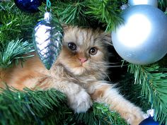 Cats seem to think we put up Christmas trees just especially for them. Some cats are satisfied under the tree, but some cats are sure you put that tree up for them to climb. Cat Christmas Tree, Christmas Kitten, Christmas Animals, Blue Christmas, Beautiful Christmas, Christmas Tree Ornaments, Christmas Holidays, Xmas, Merry Christmas