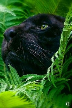 "Pantera Negra ""So beautiful"" Big Cats, Cats And Kittens, Cute Cats, Siamese Cats, Beautiful Cats, Animals Beautiful, Crazy Cat Lady, Crazy Cats, Black Panther Cat"