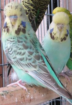 Image detail for -PASTEL BLUE CINNAMON OPALINE ENGLISH BUDGIE PAIR - Karachi - Animals