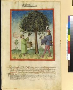 Tacuinum Sanitatis - BNF Ms. Latin 9333 Date: Rhineland, mid- 15th century.  fol 17r Pinie