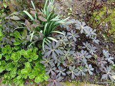 Hillsidegarden: Aprilwetter - es schneit  Epimedium Lilafee und rechts Geranium maculatum 'Espresso'