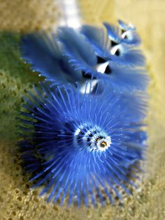 thelovelyseas:      Christmas Tree Worm Close-up by melissa.fiene on Flickr.
