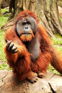 He is a male, Bornean Orangutan with nice face :-)