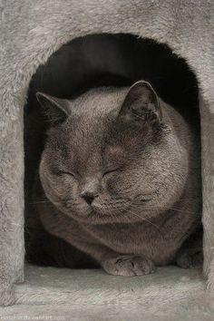 Amazing Grey Chubby Adorable Dog - 3c14f6258ddbec78491f6af97868fb46--british-blue-cat-grey-cats  Pic_49737  .jpg