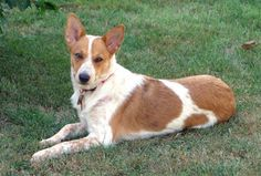 Lilly the Australian Cattle Dog/ Pembroke Corgi mix (Corgi Cattle Dog) at 7 months old.