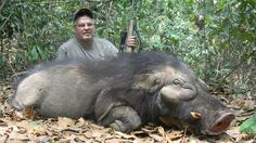 giant forest hog - Google Search