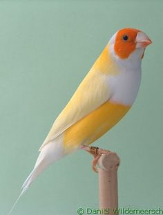 Gouldian Finch - Yellow Head White Breast Double Factor Pastel Green