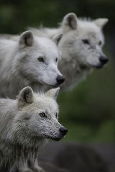 Watching the show... (Artic wolf) by Daniel Parent on 500px