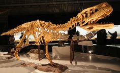 Skelett des Aucasaurus / © Kabacchi (Flickr.com). Creative Commons 2.0 Generic (CC BY 2.0)