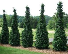 Buxus sempervirens 'Dee Runk' Dee Runk Boxwood This is a great plant for the front bed Check zone hardiness Natural Landscaping, Modern Landscaping, Landscaping Plants, Inexpensive Landscaping, Landscaping Design, Farm Gardens, Outdoor Gardens, Meadows Farms, Columnar Trees