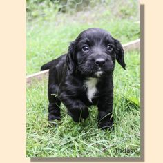 Working Cocker Spaniel Puppies | Indago Dog Photography ...........click here to find out more http://googydog.com
