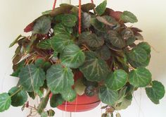 "The Strawberry Begonia Plant, or Strawberry Geranium as it is sometimes called, is neither a Begonia nor a Geranium, but rather a member of the Saxifrage family. It does have bluish-green fuzzy leaves like those of a Begonia Plant and it does spread by sending out ""stolen"" or runners like a Strawberry Plant; but this plant is really an evergreen and a close relative of the Piggyback Plant."