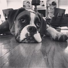 Mondays! Not our favorite. #boxer #dogs