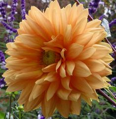Dahlias ?? - Google Search
