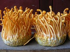 cordyceps-sinensis-mushroom-benefits