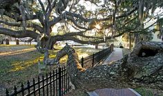 Baranoff Oak, Safety Harbor, Florida--Arborists and volunteers are working to restore Safety Harbors most famous tree, the Baranoff Oak, to health after an attempt to showcase the tree went awry. The tree is ailing, arborists say.