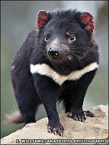 The Tasmanian Devil. Once common throughout Australia, now found in the wild only in Tasmania. Unusual Animals, Rare Animals, Animals And Pets, Wild Animals, Beautiful Creatures, Animals Beautiful, Reptiles, Mammals, Tasmanian Devil