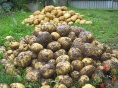 Голландская технология выращивания картофеля  Благодаря этому методу можно получить урожай картофеля в два раза больше, чем при обычной посадке. Так в ч... - Сад огород - Google+