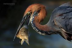 """phototoartguy: The Goliath Catch by Mario Moreno """"A Goliath Heron makes a catch in Lake Panic in Kruger National Park."""" Thank You, Mario! In Natura, Kruger National Park, Mundo Animal, Long Legs, Beautiful Birds, Animal Photography, Animal Kingdom, Pet Birds, Mammals"""