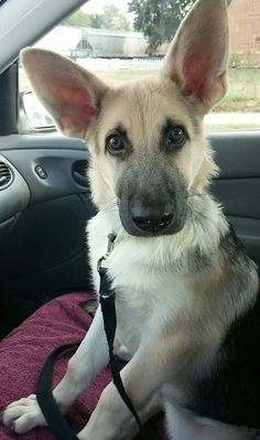 28 Of The Cutest German Shepherd Pups You'll Ever Meet