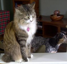 Lost Cat - Domestic Long Hair - Georgetown, Ontario, Canada L7G 5W6