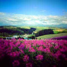 biei hokkaido japan | Biei, Hokkaido, Japan. A sea of pink flowers frames the scene ...