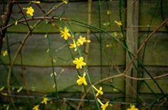 Winter jasmine - Jasminum nudiflorum AGM / RHS Gardening