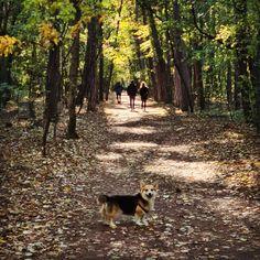 frolicking through the forest ... Pembroke Welsh Corgi, Husky, Dogs, Animals, Animales, Animaux, Doggies, Animais, Husky Dog