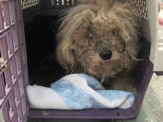 ~ Animal ID #A331944  ‒ My Name is ANGELITO. I am a Male, White Miniature Poodle mix. The shelter thinks I am about 4 years old. I have been at the shelter since May 16, 2015.   San Antonio Animal Care Services ‒ (210) 207-4PET. 4710 State Highway 151  San Antonio, TX Fax: (210) 207-6673 https://www.facebook.com/OPCA.Shelter.Network.Alliance/photos/pb.481296865284684.-2207520000.1432210025./822770804470620/?type=3&theater